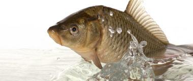 Cómo cocer la chufa como cebo para la pesca deportiva de la carpa
